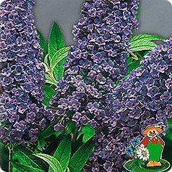 45=Буддлея Давида Фиолетово-голубая, 0,01 г