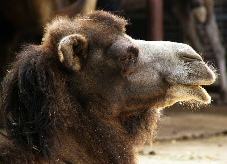 Trampeltier /- Bactrian camel (Camelus ferus)