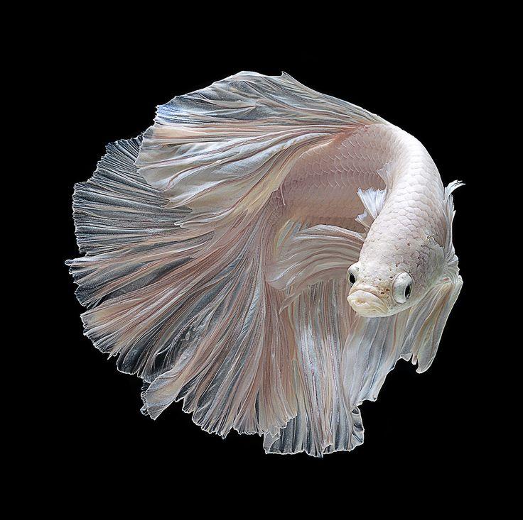 White Betta Fish by visarute angkatavanich via 500px  #Photography #Fish #Betta