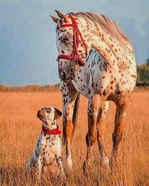 Beautiful Appaloosa horse! Pretty golden red field with the sunset shining on matching red spotted horse with red halter and dog with red collar. Pretty pic!