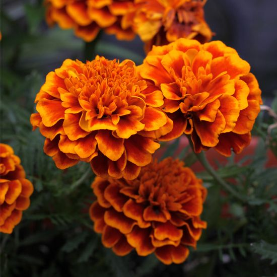 Pots of Marigolds to brighten up outdoor areas. Small pots to dress up tables too.