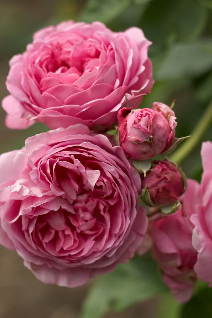 Bourbon Rose: Rosa 'Louise Odier' (France, 1851)