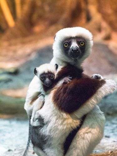 150 best images about Animals- lemurs, tarsias, loris ...