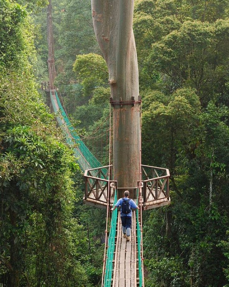 "livingonearth: ""Rainforest Canopy Walkway is located in Danum Valley Conservation Area which is situated on the north coast of the island of Borneo (The part ruled by Malaysia). The  Canopy Walkway suspended almost 30 metres (100 feet) above the forest floor is roughly 300 meter long (1000 feet) and it provides multiple viewing platforms spanning and pedestrian access to the forest canopy great way to get closer to birds and take amazing closeups. The Walkway was designed to be Tree Friendly…"