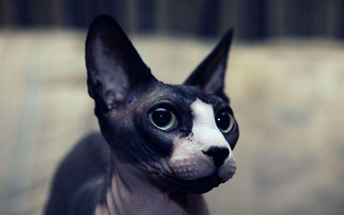 Download Tapeten schwarz Sphynx, 4k, Maulkorb, Sphynx, Katzen, Haustiere, Sphynx Katze, Felis catus