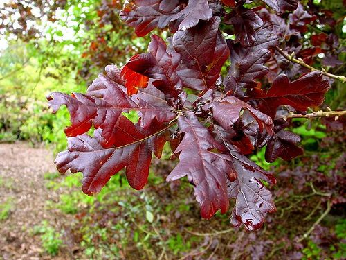 Quercus robur 'Purpurea' by KarlGercens.com, via Flickr