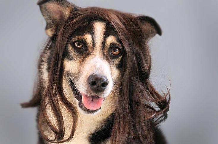 개, 머리, 가 발, 헤어스타일, 동물, 애완 동물, 농담