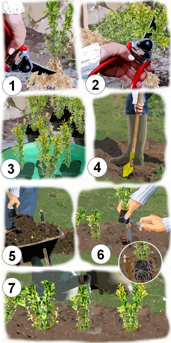 Comment et quand planter une bordure de buis Jardin de