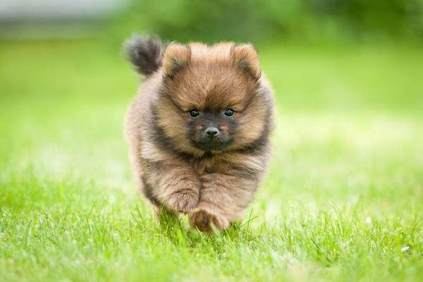 12 of the world's smallest dog breeds