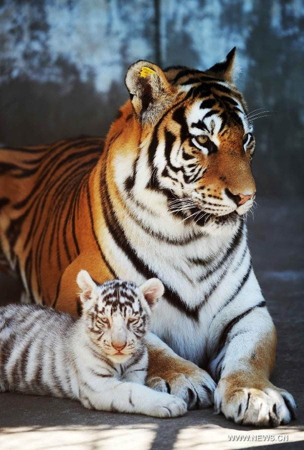 A Bengali white tiger cub and its Siberian tiger mother are seen in a tiger park in northeast China's Heilongjiang Province, Sept. 9, 2011. Five two-month-old Bengali white tiger cubs grew healthily in the park with the feeding of a female Siberian tiger. (Xinhua/Wang Jianwei)