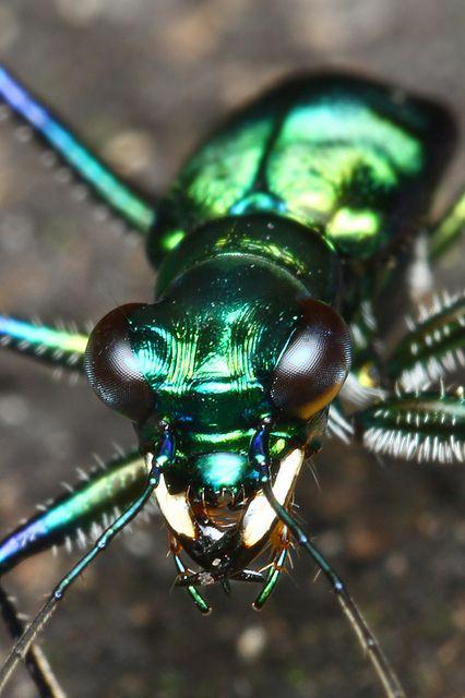 Tiger beetle by kampang, via Flickr