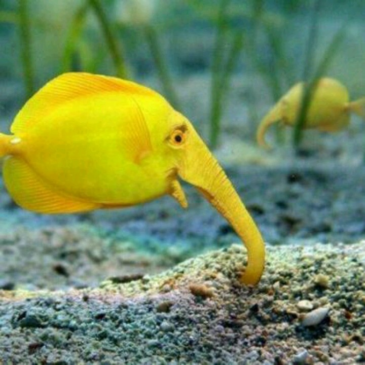 11 best weird fish images on pinterest marine life for Cool tropical fish