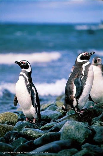 Penguins in Punta Arenas Chile. Photo taken on a Norwegian Cruise Line cruise around Cape Horn.