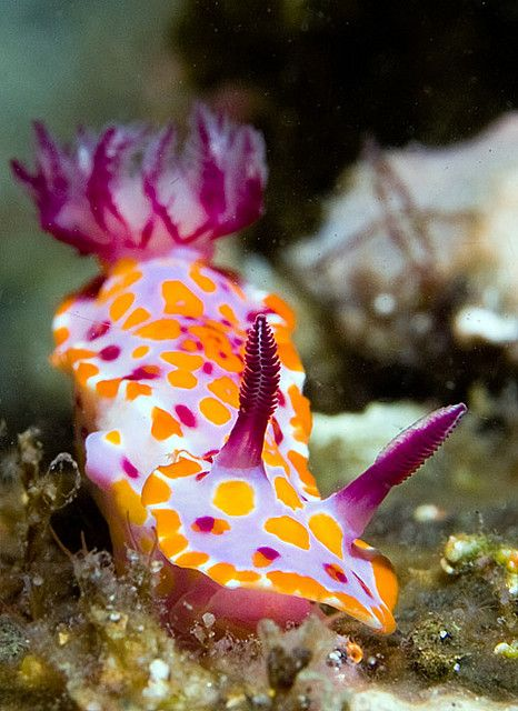 Nudibranch (sea slugs): a group of soft-bodied, marine gastropod mollusks which shed their shell after their larval stage. There are 3,000+ known nudibranch species in striking colors and forms.