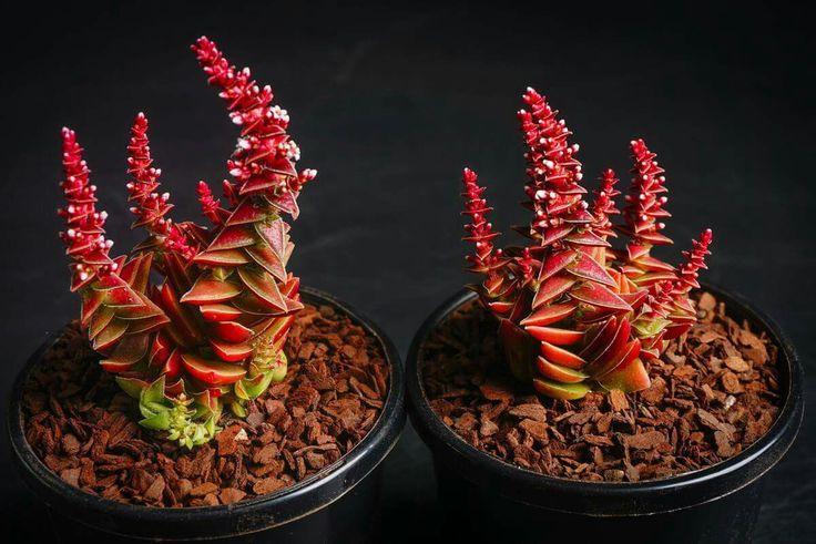 Crassula capitella ssp. thyrsiflora (The Pyramid Plant)
