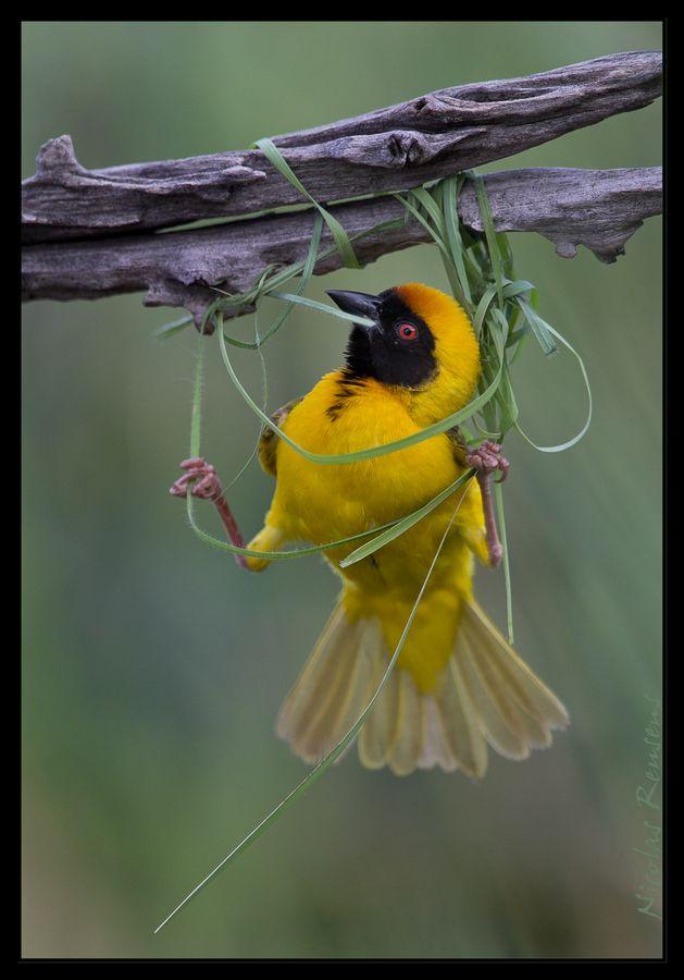 Weaver building it's nest