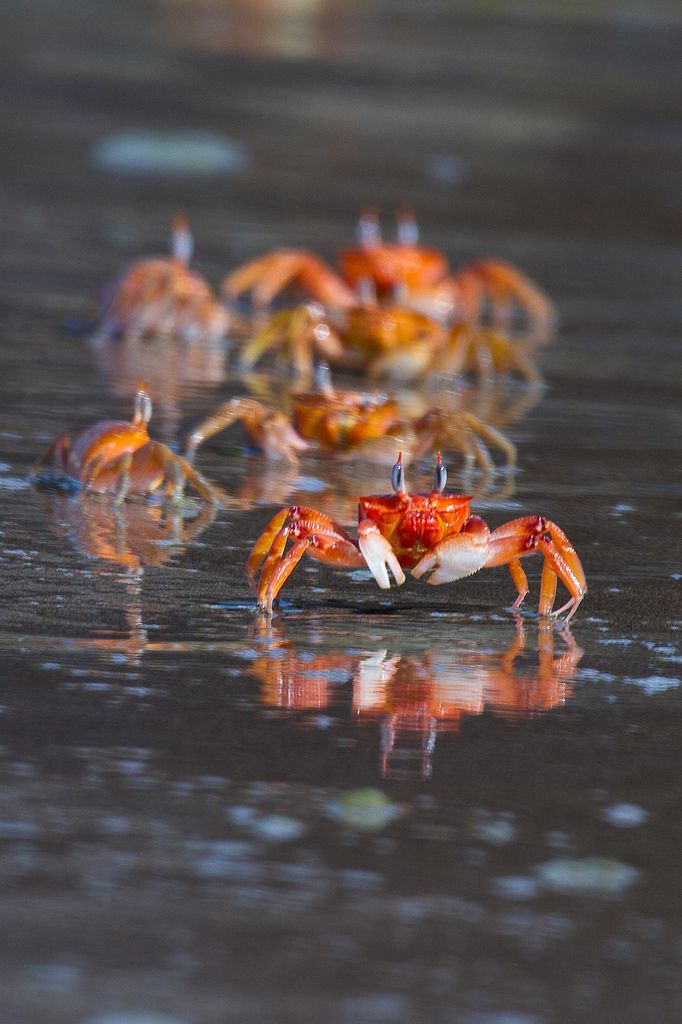 Red Ghost Crabs (aptly named for their sneaky speed) will eat just about anything, careful! :)