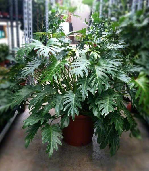 20 beste afbeeldingen over binnen planten op pinterest for Grote kamerplanten