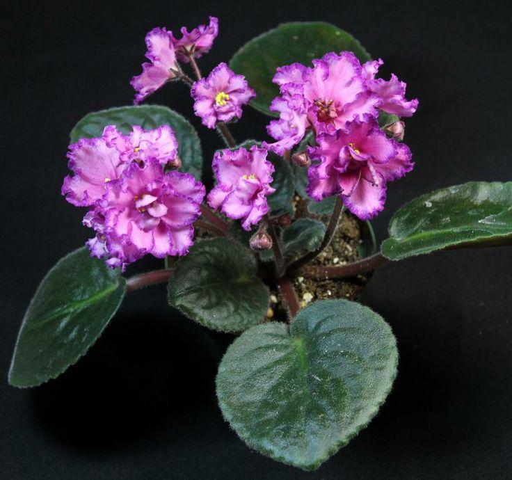 De 2917 B 228 Sta African Violets Bilderna P 229 Pinterest