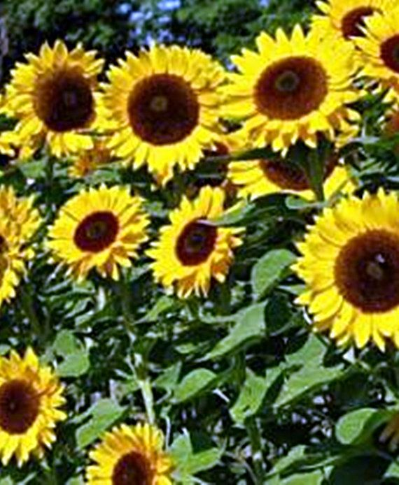 Mammoth Sunflower Seeds Heirloom Non GMO by BoxGardenSeeds on Etsy