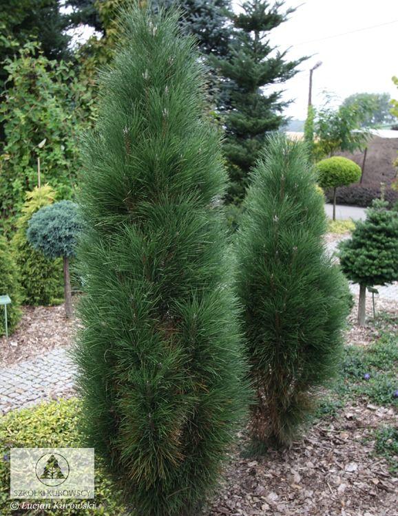 Pinus nigra 'Zimmer'. Sosna czarna 'Zimmer'. Małe drzewo o wąsko-kolumnowym pokroju, osiągające ok. 6 m wys., silnie zagęszczone. Igły długie, ciemno-zielone.
