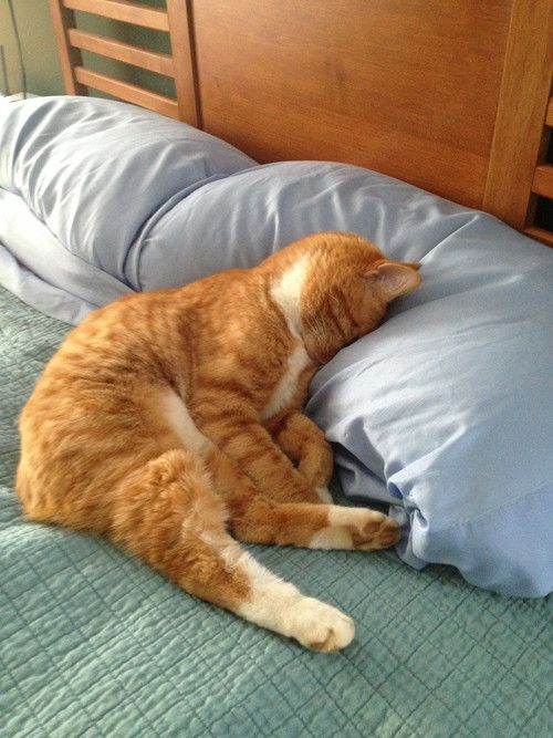 Orange Cat, Pets Memories, Mondays Mornings, Cat Naps, Gingers Cat, Naps Time, Sleep Baby, Kitty, Animal