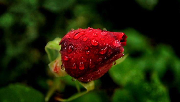 Rosebud after rain - Thanks for your visit.
