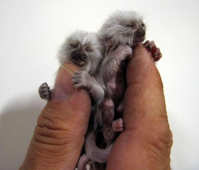 Pygmy Marmosets are the world's smallest species of monkey. What makes these two guys even more unique (aside from the fact that they're twins) is that they're albinos, giving them an exceedingly rare white outer coat.