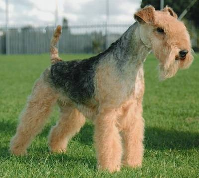 Lakeland Terrier Dog: Aired Terriers, Dogs Breeds, Lakeland Terriers, Desktop Backgrounds, Air Terriers, Tenaci Terriers, Airedale Terrier, Dog Breeds, Animal