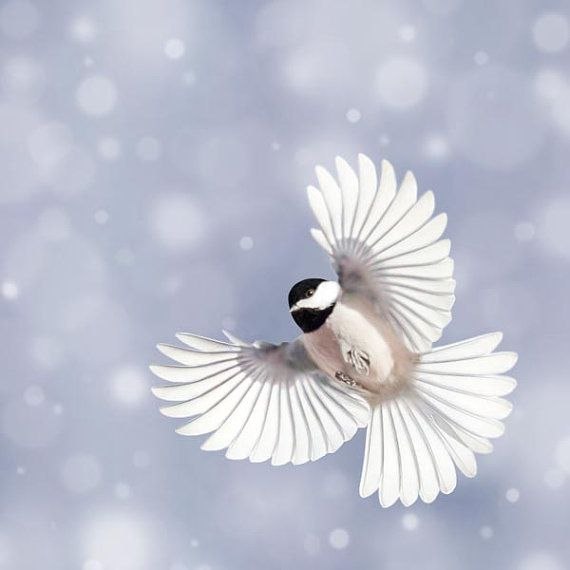 Chickadee in Flight, Winter Bird Photography Print by Allison Trentelman | rockytopprintshop.etsy.com