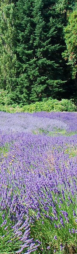 Grow Lavender Like the French: 7 Easy Tips for Anyone!