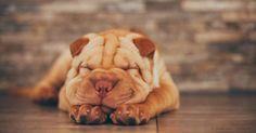 Las razas de perro braquicéfalos ahora son más populares que nunca, sin embargo son abandonados en refugios en cifras record.