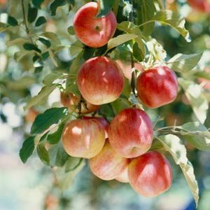 How to Choose Apple Tree Varieties To Grow and Eat