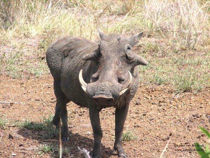 Warthog - Vlakvark - Phacochoerus africanus.     Average length of teeth: 20cm * Record: 60,96cm