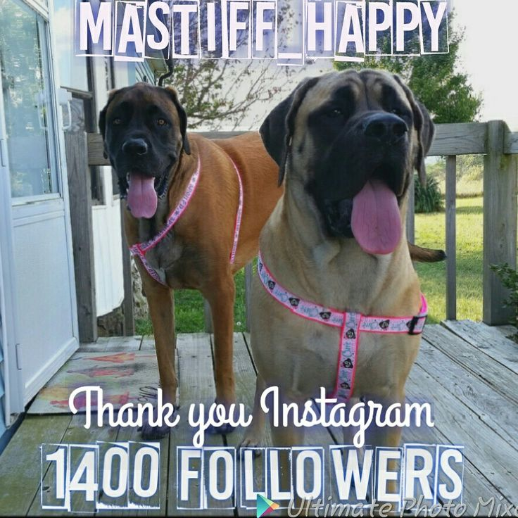 Follow us on Pinterest, instagram and facebook.  #mastiff #englishmastiff #bigdog #gentlegiant #mastiff_happy #dogs