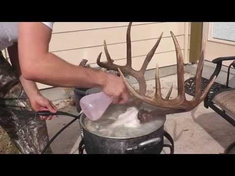 HOW TO CLEAN A DEER SKULL ( EASY PROFFESIONAL EUROPEAN METHOD ) - YouTube