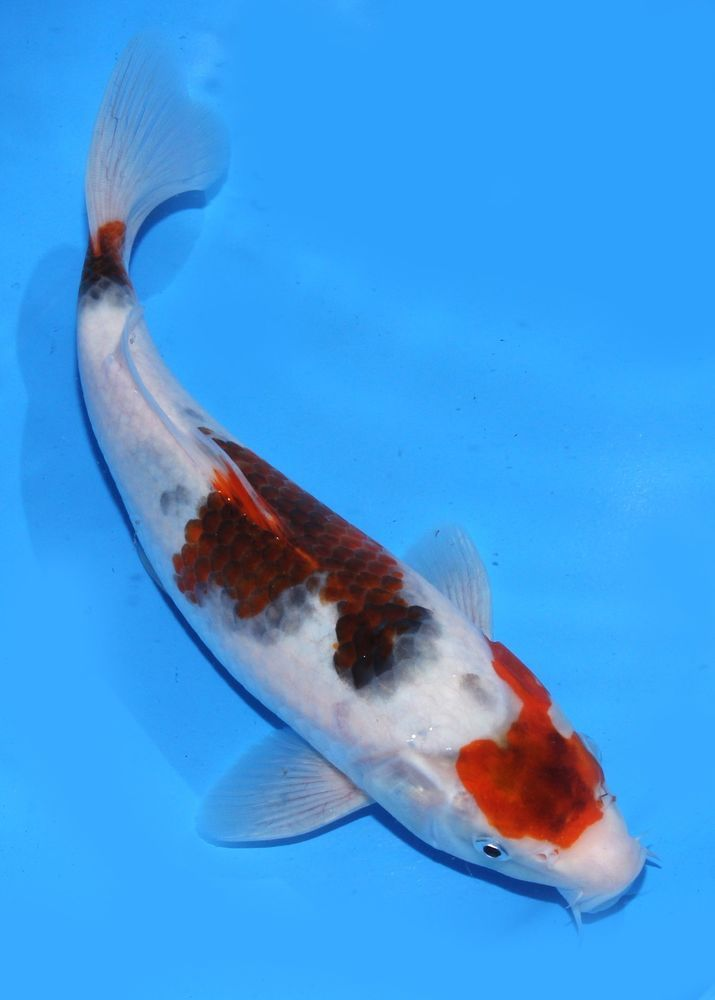423 best koi fish images on pinterest fish aquariums for Koi fish water