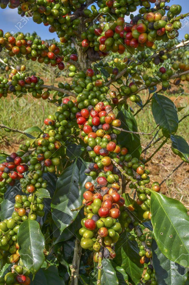 Arabica koffiebonen  #koffie #koffiebonen #arabica #arabicabeans.