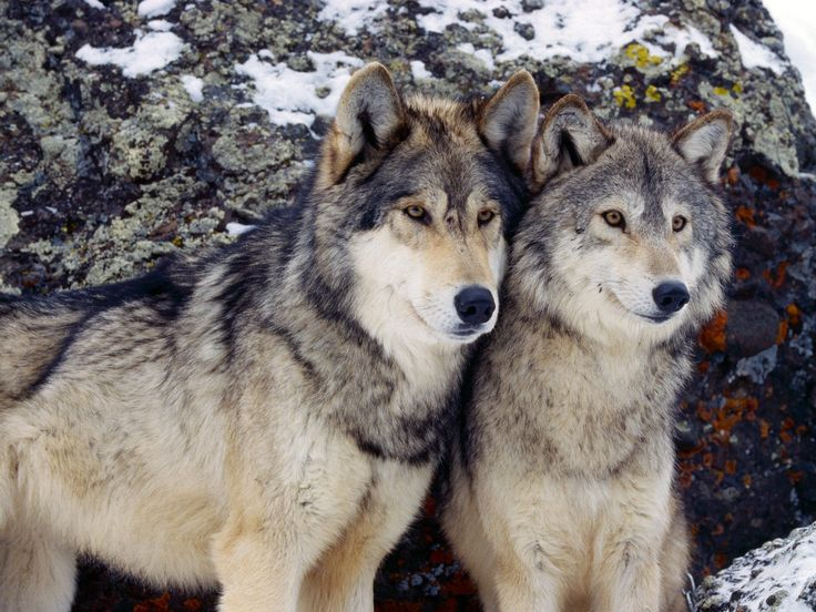 Majestic Wolves