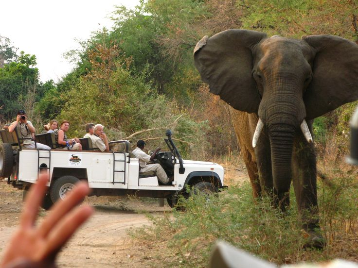 Ohhh, Elephants are so cute!!!. BUT, they have power enought  to smash your car in seconds.South Luangwa NP, Zambia!