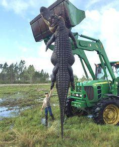 Você não sabe o que é um crocodilo gigante até ver este da Flórida