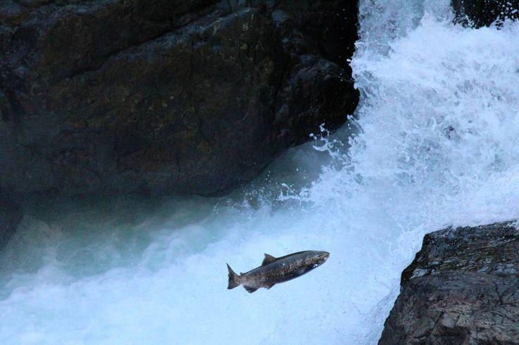 Salmon Run on Vancouver Island #exploreBC #VancouverIsland
