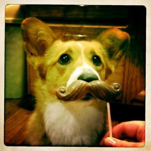 I mustache you a question...! #corgi