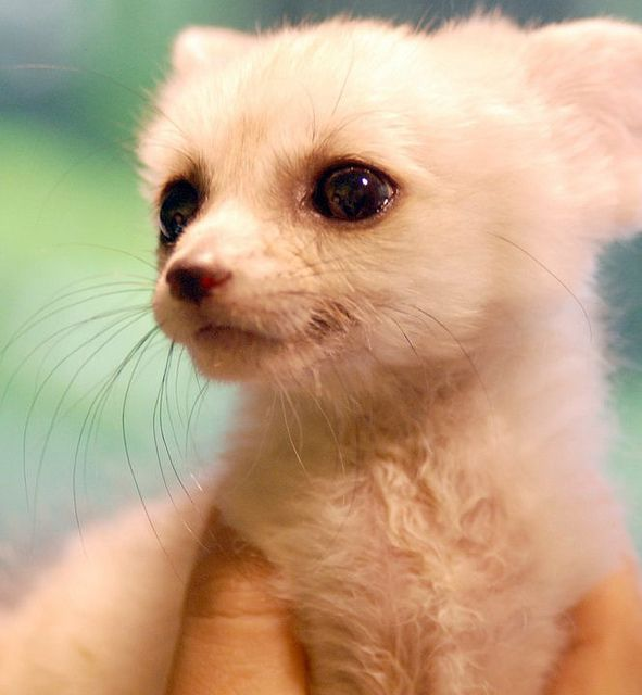 Fennec Fox Love it!!!TR  It looks so decidedly human to me!