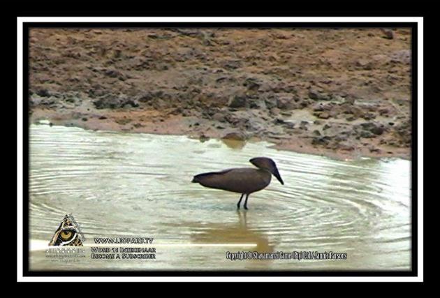Our own Cowboy Bird that likes to ride a Hippopotamus - The Hamerkop