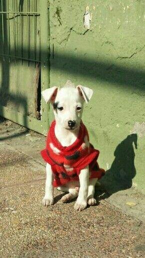 #foxterrierchileno #baby #puppie