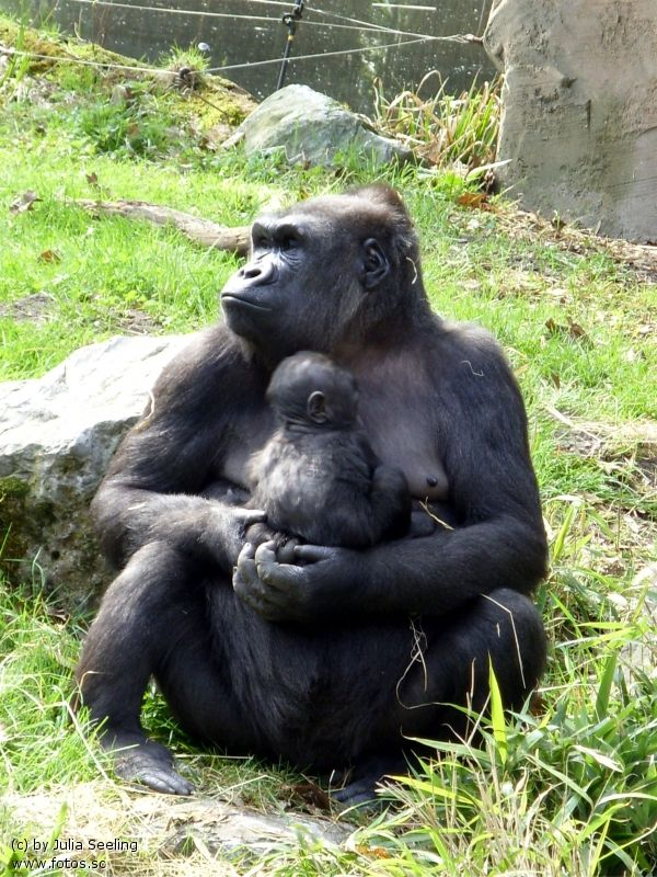 ZOO APES | Flachland Gorilla, Baby Gorilla, Zoo, Zoo Duisburg