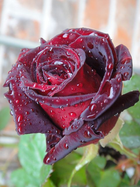 Black Baccara Rose and Raindrops