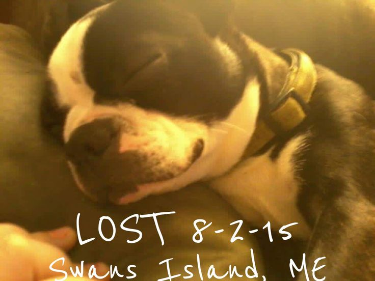 34 Best Boston Terriers Us Lost Dog Registry Images On
