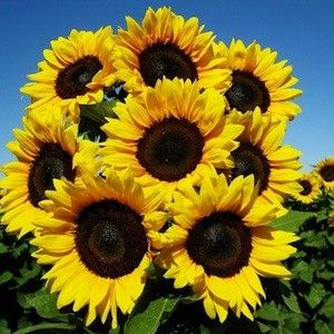 There are so many different types of sunflowers, but I love them because they all looks so cheery! Its hard not to smile when you are given one of these :)